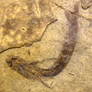 Fossilised Aanthodes bridgei with eye tissues intact.