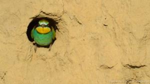 Bee-eater-BBC
