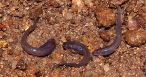 5. Tadpoles of Micrixalus herrei