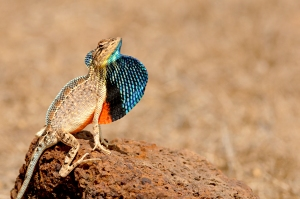 Territorial display of a Sarada superba male with crest raised-PhotoCredit-Varad Giri