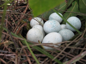 BCI 2008 eggs