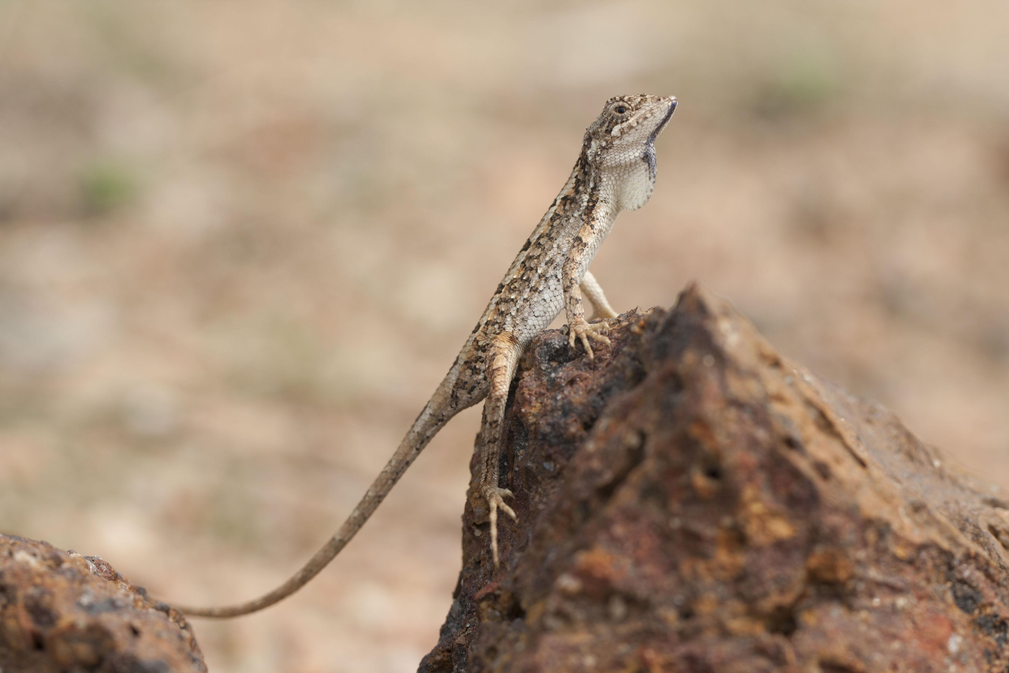 3. Sitana sivalensis Credit - V. Deepak.JPG