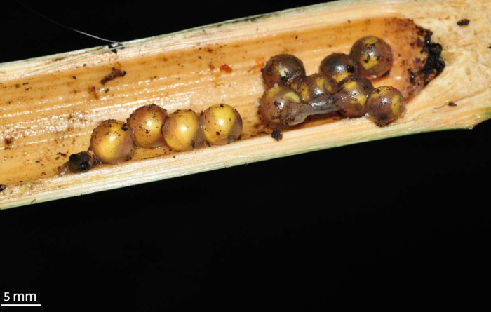Image-6 Eggs within a bamboo internode that is cut open.jpg