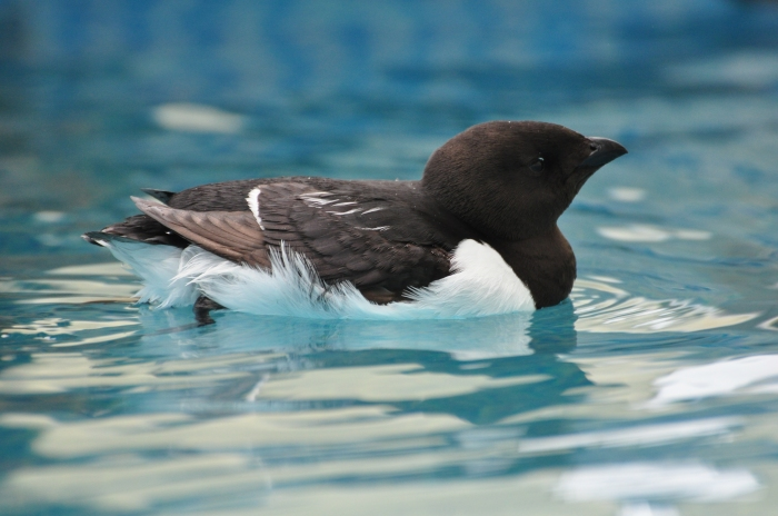 A little auk in the experimental pool